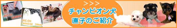 チャンピオン犬直子のご紹介